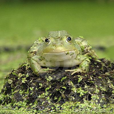 Free Toad Royalty Free Stock Images - 15988109