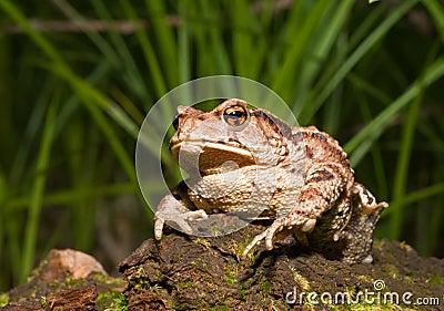 Toad (Bufo gargarizans) 8