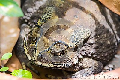 Toad (Bufo Melanostictus)