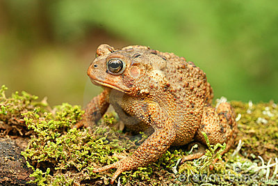 Toad (Bufo sp.)