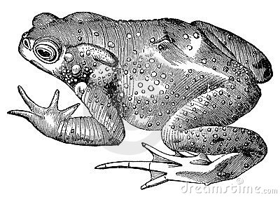 Toad frog vintage illustration