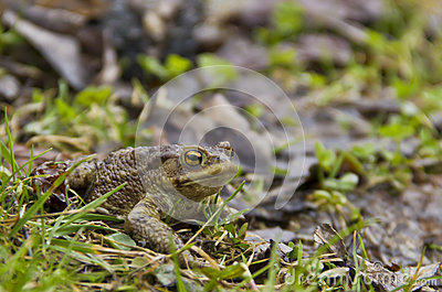 Toad at the grass