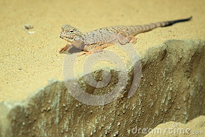 Toad headed agama