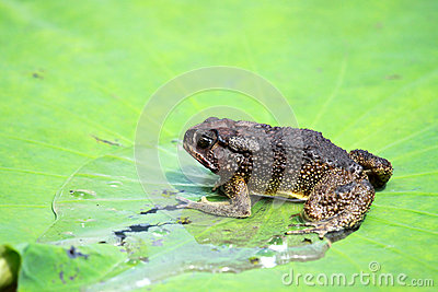 Toad on lotus leave
