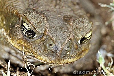 Toad s Eyes