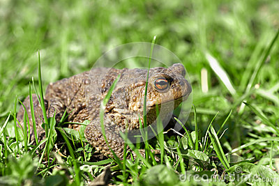 Toad sits in a grass