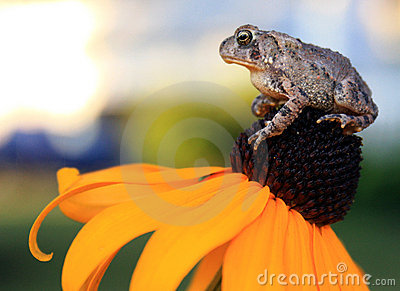 Toad sitting on Yellow Flower