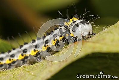 Toadflax (Brocade) Moth