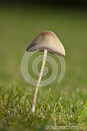 Toadstool (Genus: Mycena)
