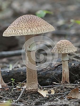 Free Toadstool Mushroom Royalty Free Stock Photos - 77112938
