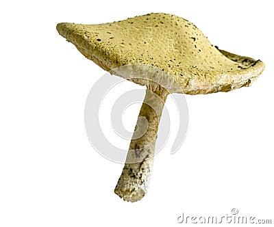 Toadstool mushroom fungi