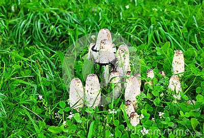 Toadstools grow on a green glade