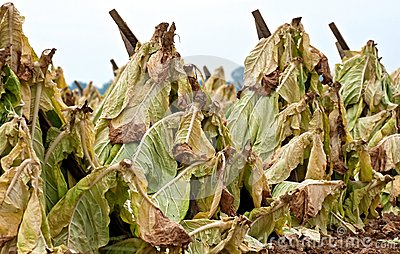 Tobacco Drying in the Field