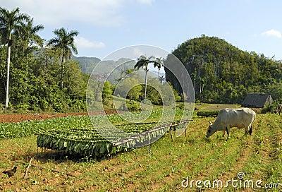 Tobacco farm in Cuba