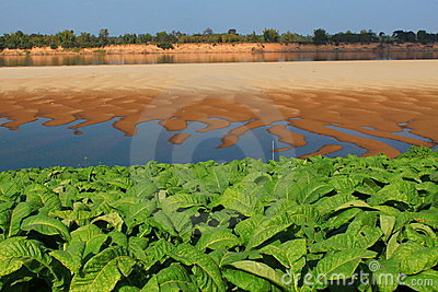 Tobacco farm Mekong riverside
