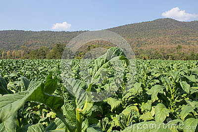 Tobacco farm in morning on mountainside