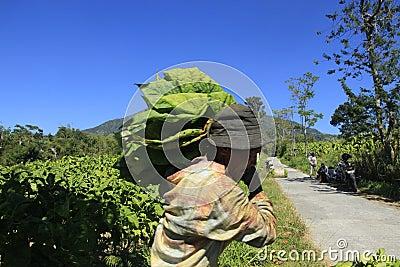 Tobacco farmers Editorial Photo