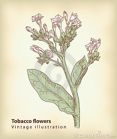 Tobacco flowers.