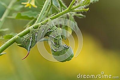 Tobacco Hornworm caterpillar (Manduca sexta) on tomato plant