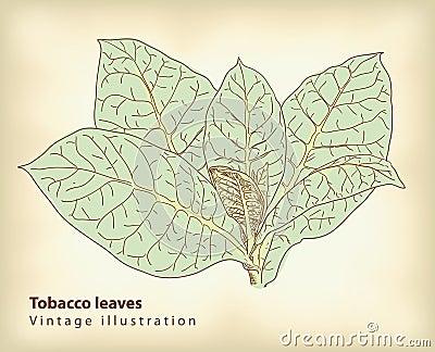 Tobacco leaves.