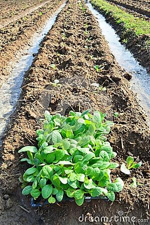 Tobacco plant in farm of thailand