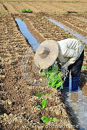 Tobacco plant in farm of thailand Editorial Photo