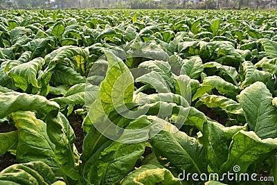 Tobakväxt i lantgård av thailand