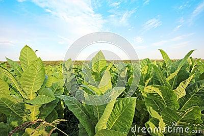 Tobbaco plantation in Poland