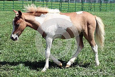 Tobiano palomino foal