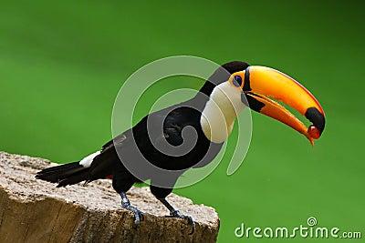 Toco Toucan Bird