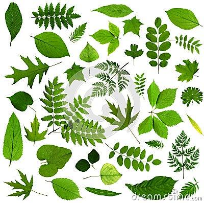 Todas las clases de hojas verdes