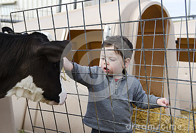 Toddler boy petting a calf