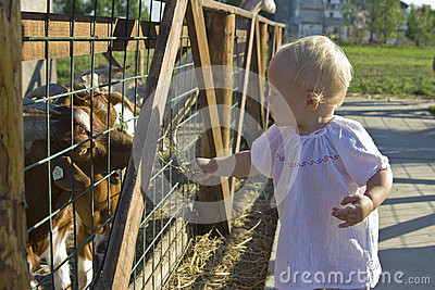 Toddler feeding the goats