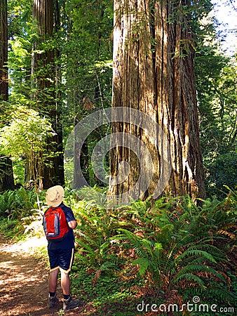Toerist die de reuzeboom van de Sequoia bewondert