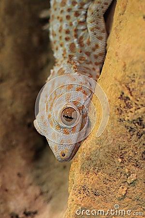 Free Tokay Gecko Royalty Free Stock Photo - 19698835