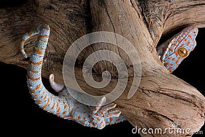 Tokay gecko climbing