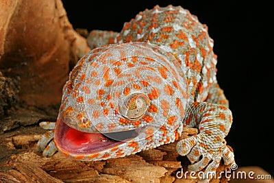 Tokay Gecko (Gecko gecko)