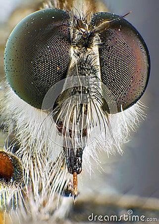 Tolmerus Species