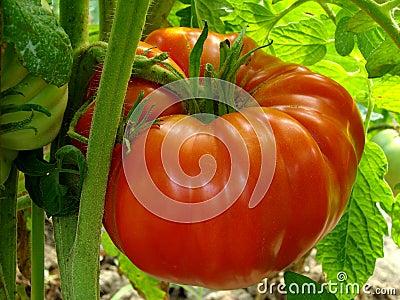 Tomate gigante rojo
