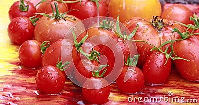 Tomaten, frisch gepflückt stock video