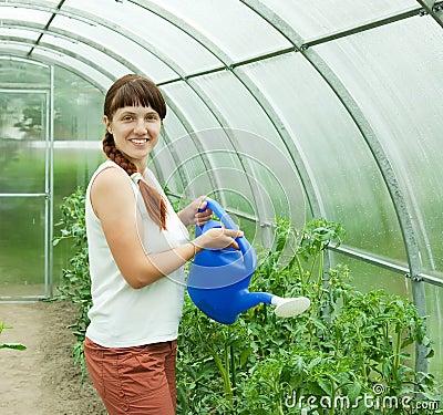 tomates de arrosage de jardinier photographie stock libre. Black Bedroom Furniture Sets. Home Design Ideas
