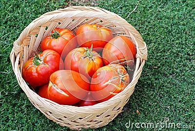 Tomates ecológicos grandes em uma cesta