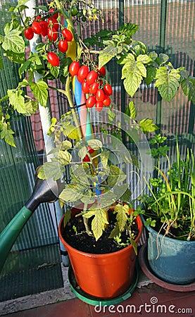 Tomates rouges dans des pots sur le balcon image libre de droits image 31402016 - Le mas des pots rouges ...