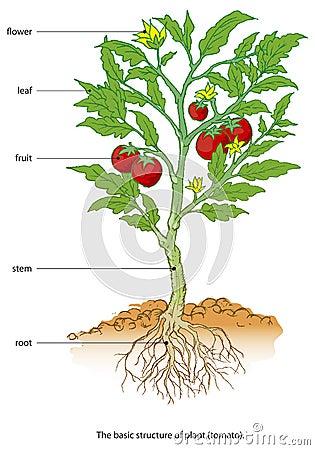 Free Tomato Royalty Free Stock Photos - 22950508