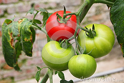 Tomato agriculture