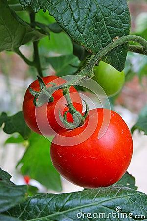 Tomato farming - Series 3