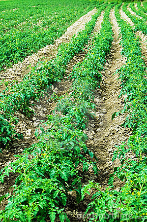 Tomato field on bright day
