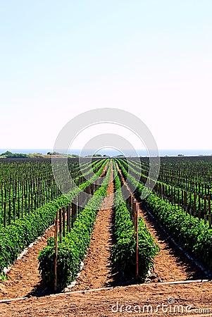 Tomato fields in California