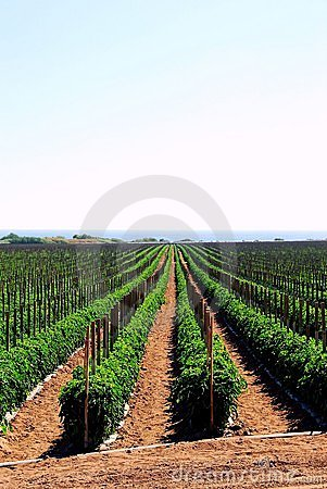 Free Tomato Fields In California Stock Photo - 5514330