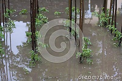 Tomato flood